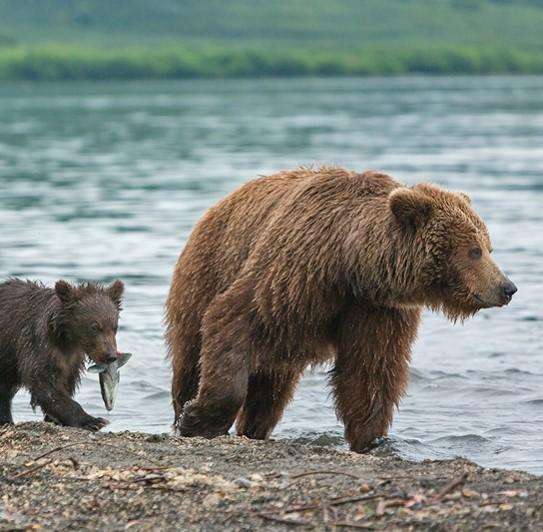 Ukok Bear